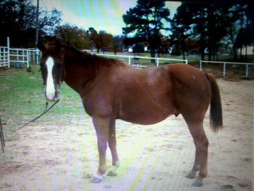 photo of sorrel gelding for sale